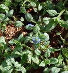 Kaukasus Vergißmeinnicht Silver Heart - Brunnera macrophylla