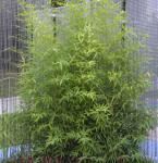 Gartenbambus 80-100cm - Phyllostachys bissetii