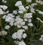 Schafgarbe White Beauty - Achillea millefolium