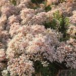 Niedriger Weißer Mauerpfeffer Coral Carpet - Sedum album