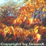 Rostbart Ahorn 125-150cm - Acer rufinerve