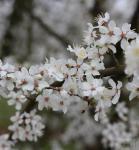 Wildpflaume 60-80cm - Prunus cerasifera