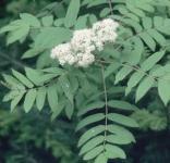 Hochstamm Zwerg Eberesche 100-125cm - Sorbus reducta
