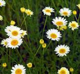 Färberkamille Alba - Anthemis tinctoria