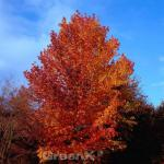 Schlankbleibender Amberbaum Worplesdon 100-125cm - Liquidambar styraciflua