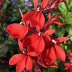 Prachtlobelie Scarlet - großer Topf - Lobelia speciosa Scarlet