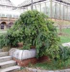 Hänge Weymouths Kiefer 80-100cm - Pinus strobus
