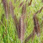 Lampenputzergras Moudry - Pennisetum alopecuroides