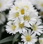 Rauhblattaster Porzellan - Aster novae angliae