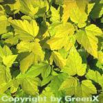 Hochstamm Blasenspiere Darts Gold 80-100cm - Physocarpus opulifolius