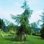 Trauer Lärche 100-125cm - Larix kaempferi pendula
