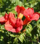 Trompetenblume Flamenco 100-125cm - Campsis radicans