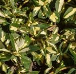 10x Goldbunte Kriechspindel Sunspot 10-15cm - Euonymus fortunei