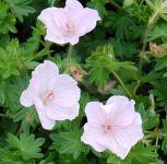 Storchenschnabel Apfelblüte - Geranium sanguineum