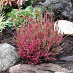 10x Besenheide Dark Beauty - Calluna vulgaris