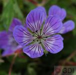 Storchenschnabel Sweet Heidy - Geranium cultorum