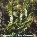 Berg Zimterle 60-80cm - Clethra acuminata
