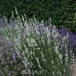 Echter Lavendel Alba - Lavandula angustifolia