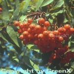 Mährische Eberesche 100-125cm - Sorbus aucuparia