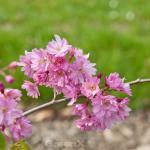 Hochstamm Higan Kirsche 80-100cm - Prunus subhirtella