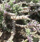 10x Besenheide Silver Queen - Calluna vulgaris