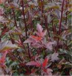 Blasenspiere Lady in Red 100-125cm - Physocarpus opulifolius