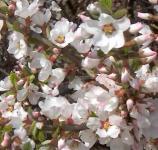 Zier Filzkirsche 40-60cm - Prunus tomemtosa