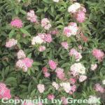 Zwergspiere Shirobana 20-30cm - Spiraea japonica
