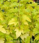 Blasenspiere Nugget 40-60cm - Physocarpus opulifolius