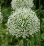 Zierlauch Mount Everest - Allium stipitatum