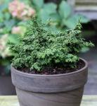 Hinoki Scheinzypresse Maureen 10-15cm - Chamaecyparis obtusa