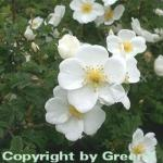 Pimpernell Rose 30-40cm - Rosa pimpinellifolia