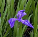 Asiatische Sumpf Schwertlilie - Iris laevigata