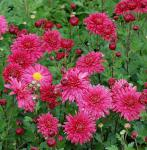 Winteraster Cinderella - Chrysanthemum Indicum