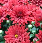 Winteraster Brennpunkt - Chrysanthemum Indicum