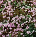 Herbst Alpenveilchen Rote Perle - Cyclamen hederifolium