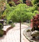 Hochstamm Japanische Korkenzieher Lärche Diana 100-125cm - Larix kaempferi