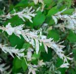 Zierweide Hakuro Nishiki 80-100cm - Salix integra