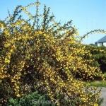 Schmalblättrige Berberitze Jolanda 20-30cm - Berberis stenophylla