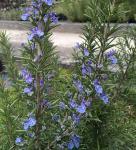 Rosmarin Corsican Blue - Rosmarinus officinalis