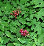Christophskraut rote Beeren - Actaea pachypoda