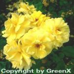 Hochstamm Rose Friesia® 80-100cm