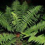 Echter Wurmfarn - Dryopteris filix mas