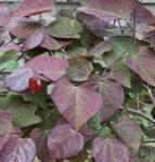 Roter Judasbaum Forest Pansy 60-80cm - Cercis canadensis