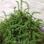 Kugelberberitze Amstelveen 20-25cm - Berberis frikartii