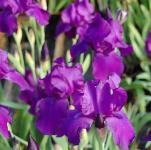 Schwertlilie Matinata - Iris barbata