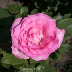 Edelrose Beverley® 30-60cm