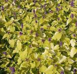 Mexikonessel Golden Jubilee - Agastache rugosa