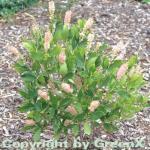 Silberkerzenstrauch Pink Spire 60-80cm - Clethra alnifolia