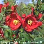 Hochstamm Zierquitte Crimson and Gold 60-80cm - Chaenomeles